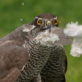 Goshawk feed 3 by Garry Chisholm - Animals Birds ( bird, garry chisholm, nature, wildlife, falcon, raptor, prey, goshawk, hawk )