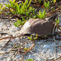 Atlantic Horseshoe Crab