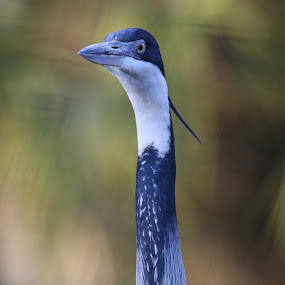 Baby Blue by Jared Lantzman - Animals Birds ( bird, blue heron, blue, feathers, heron, eye )