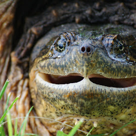 Smile for the Camara by Susan Fries - Animals Reptiles ( reptiles, snapping, smile, turtle )