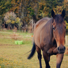 Basil by Michelle du Plooy - Novices Only Pets ( equine, bay, horse, gelding, equestrian )