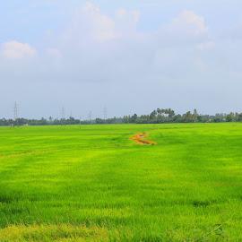 the paddy field.. by Radhika Aswin - Landscapes Prairies, Meadows & Fields (  )