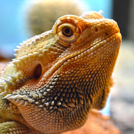 Bearded Dragon by Carrie Cooper - Animals Reptiles