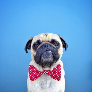 pugs wallpapers   android apps on google play