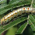 Omnivorous tussock moth