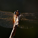 Dragonflies - different kinds