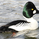 Common Goldeneye - male
