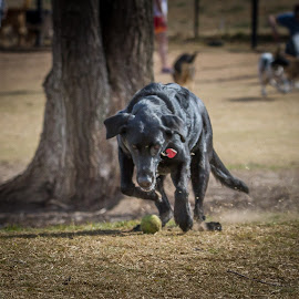 The run down by Ron Meyers - Animals - Dogs Playing