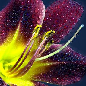 Wet Dark Red Daylily by Steve Edwards - Flowers Single Flower ( water drops, deep red daylily, single flower, daylily, yellow center, flower,  )