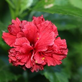 love red by Dani Sumawijaya - Nature Up Close Gardens & Produce ( macro, macro flower, macro photography, roses, flowers )