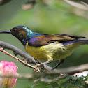 Brown - throated Sunbird (Male)