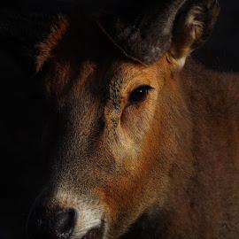 Reindeer by Richard James - Animals Other Mammals (  )
