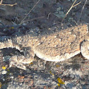 Desert Horned Lizard (Horned Toad)