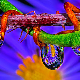 Drops with aster by David Winchester - Nature Up Close Natural Waterdrops