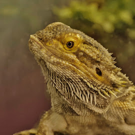 bearded dragon  by Esther Lane - Animals Reptiles ( head shot, reptile, bearded dragon, animal )