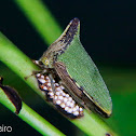 Green thorny treehopper