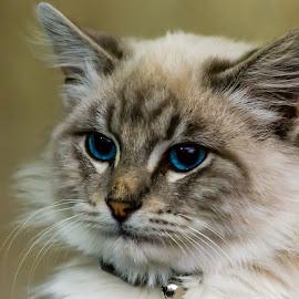 Pangurs by Joseph Martinez - Animals - Cats Kittens ( cat, kitten, cat eyes, d5200, cat portrait, blue eyes, nikon )