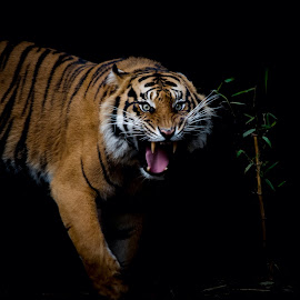 Sumatran Tiger by David Whelan - Animals Lions, Tigers & Big Cats ( zoo, endangered, sumatran tiger )