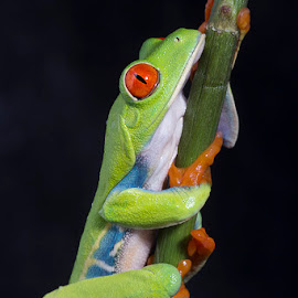 Red eyed tree frog by Angi Wallace - Animals Amphibians ( frog, red eyed tree frog, pet, amphibian, agalychnis callidryas )