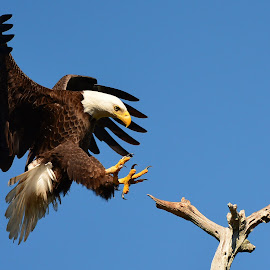 The Eagle has Almost Landed by Mary Smiley - Animals Birds ( eagle, eagle talons, bald eagle, eagle landing )