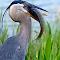 Great Blue Heron 114.jpg