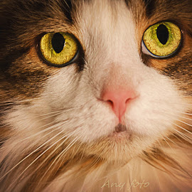 by Annie Doucet - Animals - Cats Portraits ( animals,  )