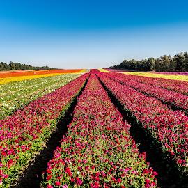 by Nissim Brcaha - Landscapes Prairies, Meadows & Fields ( buttercups, negev, israel )
