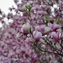 Saucer magnolia 二乔木兰