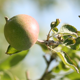 baby Green Apple by Alec Halstead - Nature Up Close Gardens & Produce