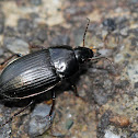 Seed-Eating Ground Beetle