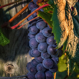 Future Wine by Paul Zeinert - Food & Drink Fruits & Vegetables ( bryan, wine, ohio, grapes, vine, sunset, usa )