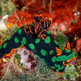 Red and green nudibranch. by Alexandre Ribeiro Dos Santos - Animals Sea Creatures ( wild, sea creatures, underwater, green, christmas, sea, nihiwatu, macro, sumba, red, indonesia, nudibranch, sea slug,  )
