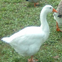 Roman (Domestic) Goose