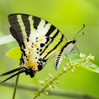 Fivebar Swordtail