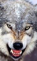 Screenshot of Wolves Live Wallpaper