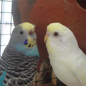 Kiss Me! by Swapnanil Dhol - Novices Only Pets ( petbirds, lovebirds, birds )