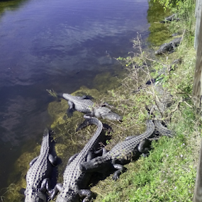 8 Alligators by Brianne Cronenwett - Instagram & Mobile Android ( florida, unedited, everglades, alligators,  )