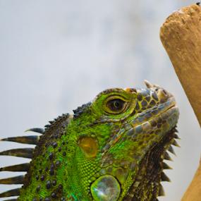 green iguana by Alighieri Rizo - Animals Reptiles ( reptiles, iguanas, iguana, reptile, reptil, iguana verde, green iguana )