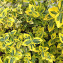Emerald and gold euonymus
