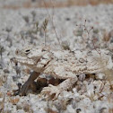 Desert Horned Lizard or Flat-tailed Horned Lizard