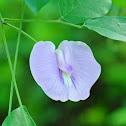 Butterfly-pea