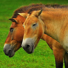 by Subinoy Das - Animals Horses