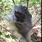 Eastern tent caterpillar