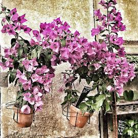 Santa Rita by Gerardo Rivas - Novices Only Flowers & Plants