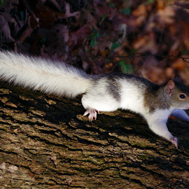 by Buddy Boyd - Animals Other Mammals ( piebald, white, bald, pie, squirrel,  )