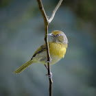 Lemon-chested Greenlet