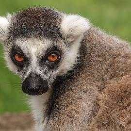 Ring tail Lemur by Garry Chisholm - Animals Other Mammals ( garry chisholm, nature, wildlife, primate, lemur )