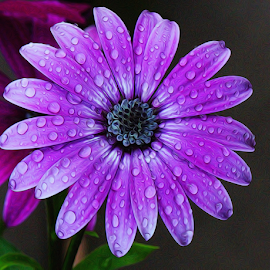 by Dipali S - Digital Art Things ( water, africal, nature, purple, flora, digital manipulation, drops, daisy, flower )