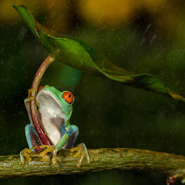 Raining ! No problem. I'v my Umbrella  by Kutub Macro-man - Animals Amphibians ( nature, umbrella, red eye tree frog, rain, animal, , #GARYFONGPETS, #SHOWUSYOURPETS )