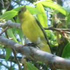 Western Tanager( Female)